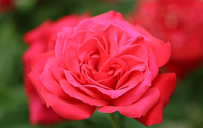 Beautiful Rose- Exploring the Life and Soul of Mary Magdalene